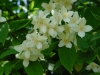 Sweet Mock-orange