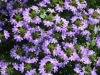 Blue Fan Scaevola