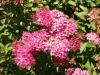 Spiraea / Anothony Waterer