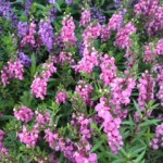 Angelonia Angustifolia - Angelface
